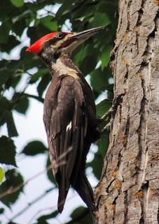Pileated Woodpecker at Winterburn Woodland.