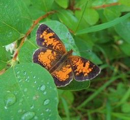 Northern Crescent butterfly at Whitemud Creek.
