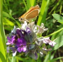 Skipper butterfly unfurls its proboscis to feed on an Alfalfa flower at Whitemud Park.