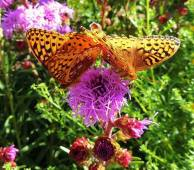 Two Fritillary butterflies suck nectar from Meadow Blazing Star at the John Janzen native plants display garden.
