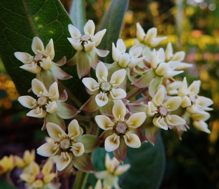 Low Milkweed - a favourite of the Monarch Butterfly - blooming at Muttart native plant display garden.