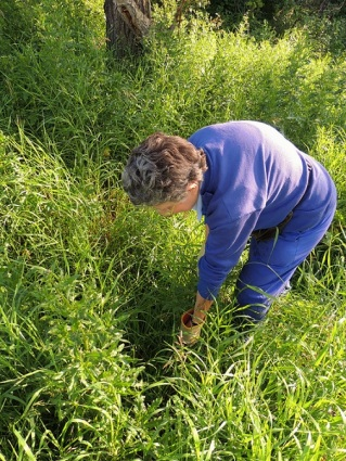 The founder of the Thistle Patrol, Diana Baragar pulling thistles in Mill Creek.