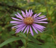Aster at Callingwood Treestand
