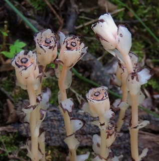 Indian Pipe at Mill Creek.