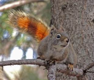 Red Squirrel at Callingwood Treestand.