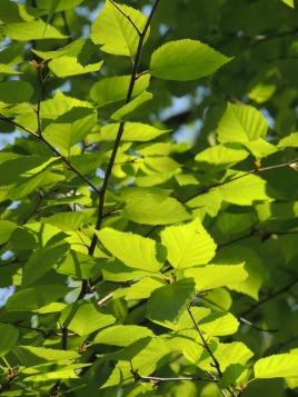 Birch leaves at Birch Tree Trail.