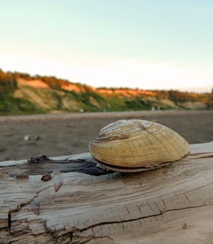 Clam on North Saskatchewan River.