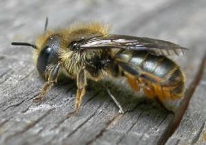 beespotter.org