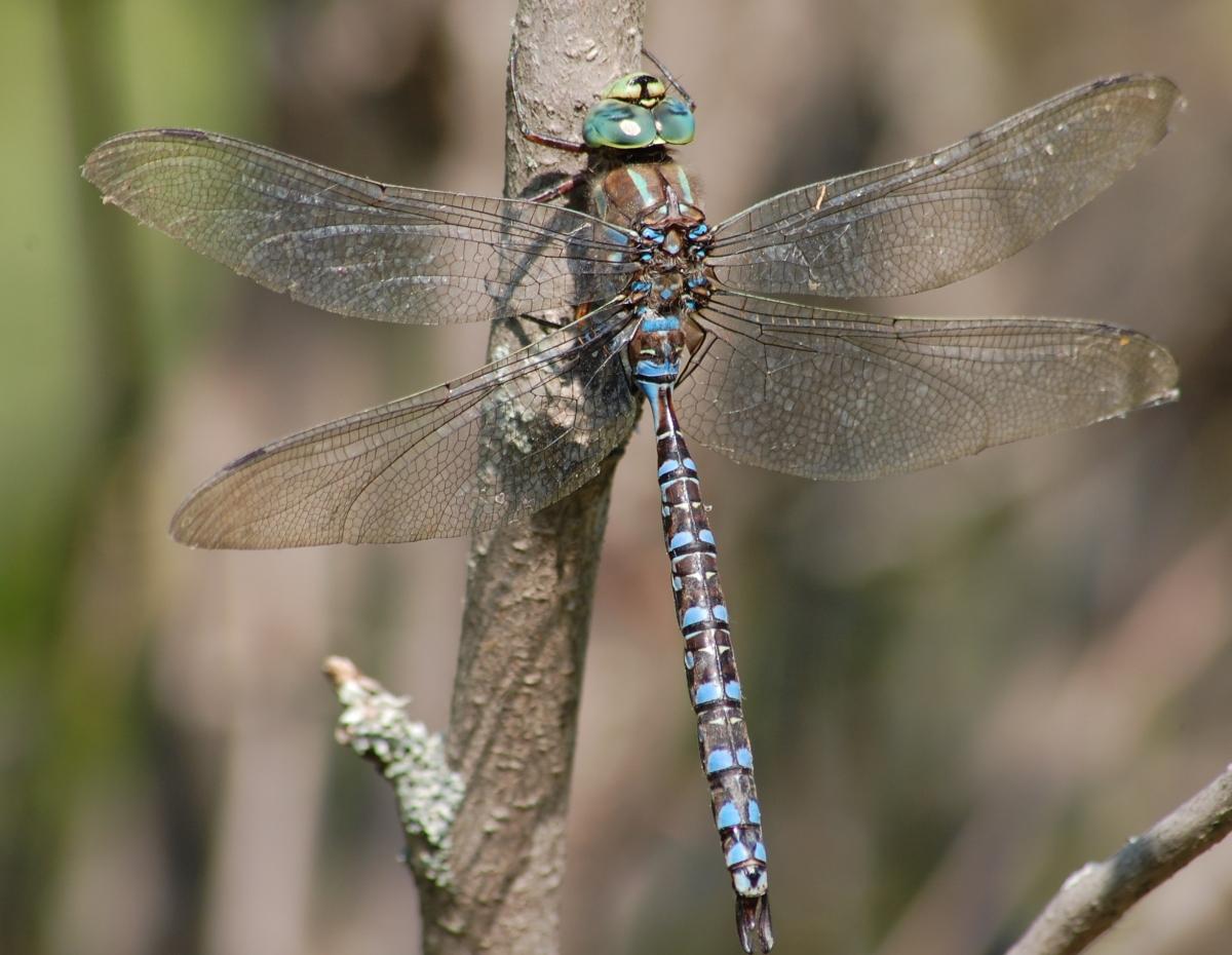 backyard bugs dragonflies and damselflies nature edmonton
