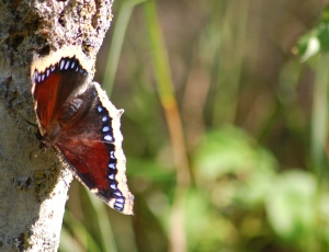 mourning cloak2